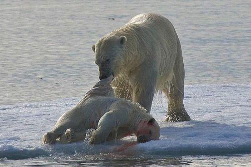 Kutup ayıları genellikle, anakaradaki akrabalarına göre daha sempatik bir imaja sahip. Ancak doğa bilimcilerin elde ettiği yeni görüntüler hem bu imajı sarsıyor, hem de türün içinde bulunduğu zorlukları ortaya koyuyor.