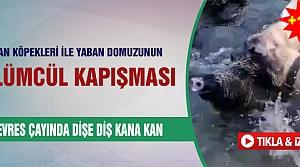 Çoban köpekleri ile yaban domuzunun ölümcül kapışması!