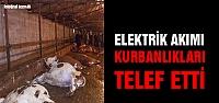 Çankırı'da elektrik akımı büyükbaş kurbanlıkları telef etti!