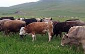 Çankırı'da hayvan dolandırıcıları yakalandı!
