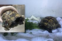 Zifte yapışan Kaplumbağa hayata tekrar döndü!