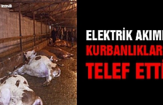 Çankırı'da elektrik akımı büyükbaş kurbanlıkları...