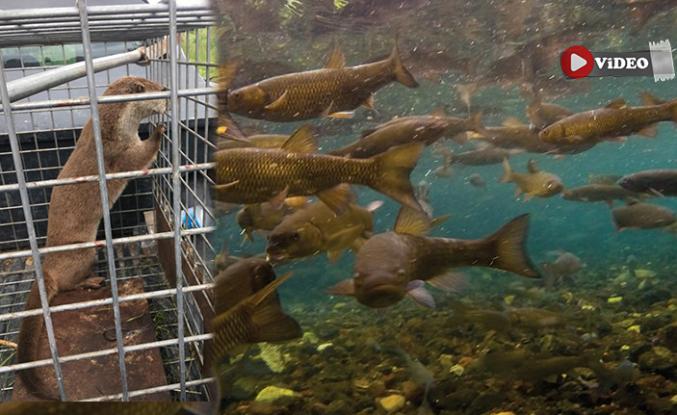 Asker balıkları avlayan su samuru yakalandı!