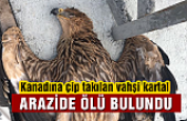 Çankırı'da kanadına verici takılan kartal ölü bulundu!